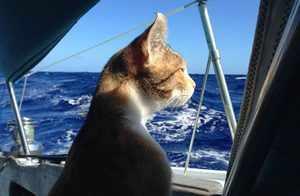 Трёхцветная кошка-путешественница