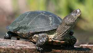 Сколько могут прожить в естественных условиях болотные черепахи