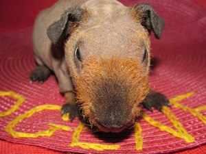 Коричневая свинка скинни