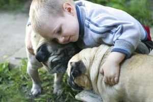 Характеристика собак породы мопс и их повадки