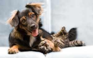 На самом деле, кошки и собаки прекрасно уживаются при правильном поведении хозяев