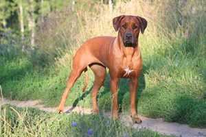 Характеристика породы и описание собак Родезийский риджбек