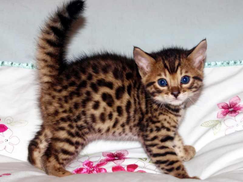 Бенгальский котенок насторожен