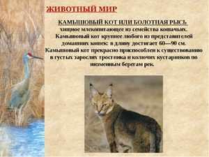 Камышовый кот или болотная рысь - хищное млекопитающее