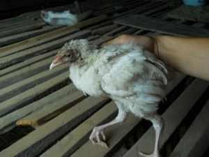 Болезни бройлеров - помощь птицам