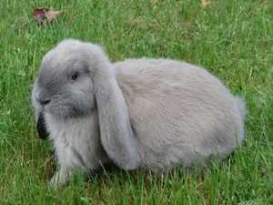 Как кормить кроликов породы баран