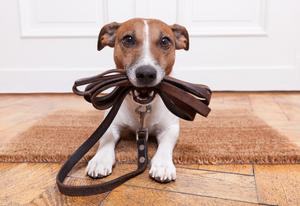 Как быстро приучить щенка к поводку