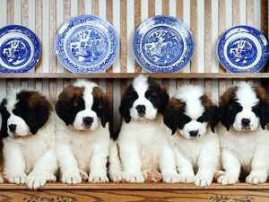 Нюансы выбора и приобретения щенков сенбернаров