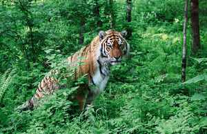 Разновидности тигров