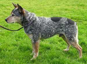 Австралийская пастушья собака на прогулке с хозяином