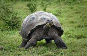 Слоновая черепаха - ареал обитания