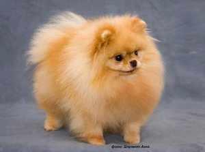 Собака Карликовый померанский шпиц
