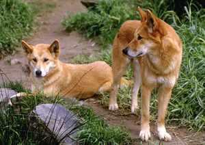 Дикие собаки динго в природе