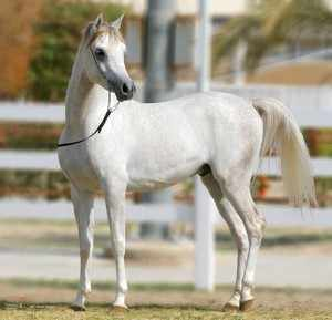 Как ухаживать за арабской лошадью