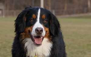Пастушьи собаки-описание