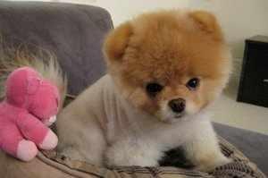 Характеристики породы собак померанский шпиц