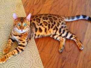 Бенгальская кошка лежит на полу