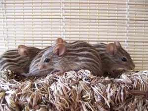 Декоративные мыши в клетке