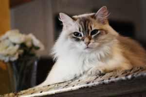 Какие породы кошек считаются ласковыми