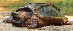 Ареал обитания грифовой черепахи