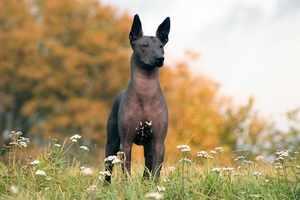 Особенности не линяющих или мало линяющих пород собак