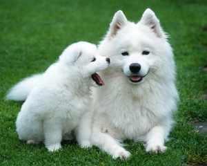Полярные собаки: описание породы