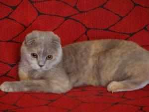 Окраса шотландских вислоухих кошек