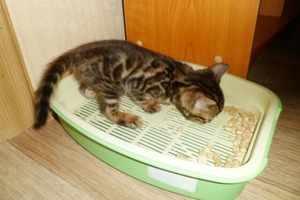 Бенгальский котенок - приучение к туалету