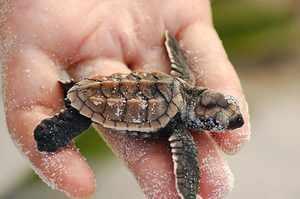 Морские черепахи - долгожители или нет?