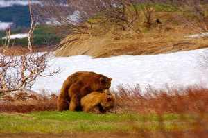 Медведь Гризли или , питание и размножение