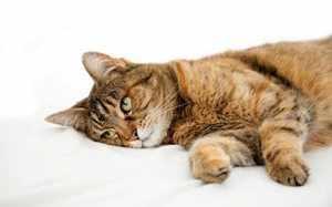 Острая форма диареи и поноса у кошек