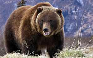 Виды бурых медведей и их характеристики