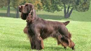 Филд спаниель - порода собак
