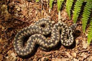 ГАДЮКИ - семейство ядовитых змей