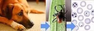 Лечение пироплазмоза у собак