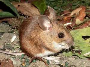 Дикие мыши в прирде