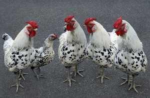 Выведение пероеда у кур