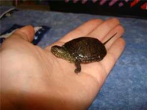 Болотная черепаха - содержание дома