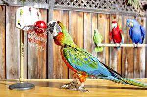 Умение попугаев говорить