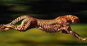 Где обитает гепард