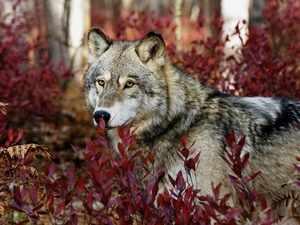 Порода серый волк
