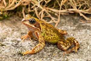 Окрас травяной лягушки