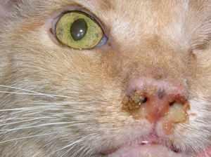 Микоплазмоз у кошек: симптомы и лечение