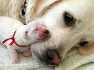 Когда щенок должен открыть глаза