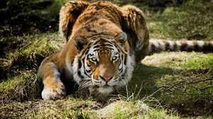 Сибирский тигр - отличный охотник