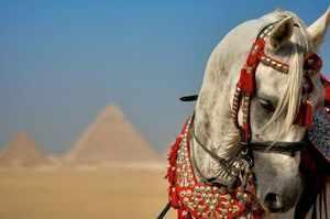 Арабский скакун в гизе