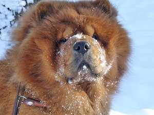 Взрослая Чао- Чао на снегу