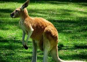 Где живут кенгуру- образ жизни и описание животного