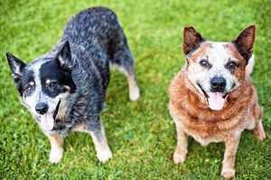 Две австралийских пастушьих собаки голубого и красного окрасов