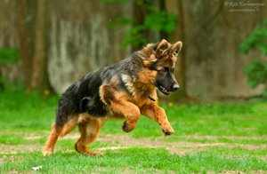 Длинношёрстная немецкая овчарка прыгает по траве